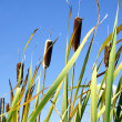 Cattails and sky vertical - Stock Photo