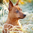 Royalty-Free Stock Photo: Red Miniature Pinscher