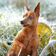Red Miniature Pinscher — Stock Photo #7496055