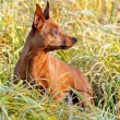 Red Miniature Pinscher — Stock Photo #7611968