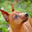 Red Miniature Pinscher — Stock Photo #7612050