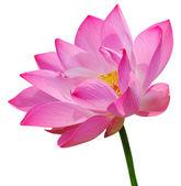 Loto rosa — Foto de Stock