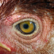 Chicken eye — Stock Photo #7242385