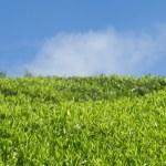 Tea Plantations — Stock Photo #7242415