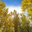 Fall Aspen Trees — Stock Photo