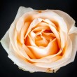 Creamy rose against — Stock Photo