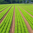 Stock Photo: Salad field lines