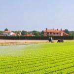 Salad field panorama — Stock Photo
