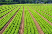 Salad field lines — Stock Photo