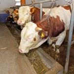 Cows farm — Stock Photo #7456838