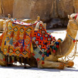 Camel sit - Stockfoto