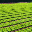 Salad field rows — Stock Photo