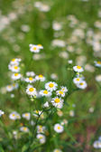 Camomile Field — Stock Photo