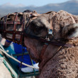 Dromedary Excursion on Lanzarote — Stock Photo #7325769
