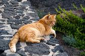Golden Cat — Stock Photo