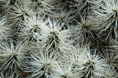 Groene en witte cactus — Stockfoto