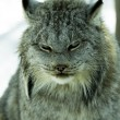 Canadian lynx — Stock Photo