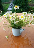Daisies after a rain — Stock Photo
