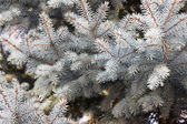 Blue spruce twigs — Stock Photo