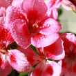 Pink geranium flowers with water drople — Stock Photo #7693679