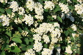 Bridal wreath shrub flowers — Stock Photo