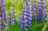 Lupine flowers purple color — Stock Photo