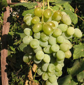 Bunch of white grapes — Stock Photo