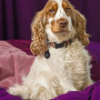 Stock Photo: Cocker Spaniel Dog