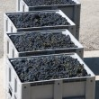 Crates of grapes (Italy) - Stock Photo