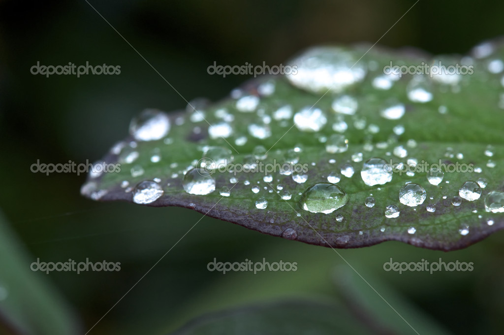 Closeup of a Green and Purple Plant with Water Droplets  Stock fotografie #7543615