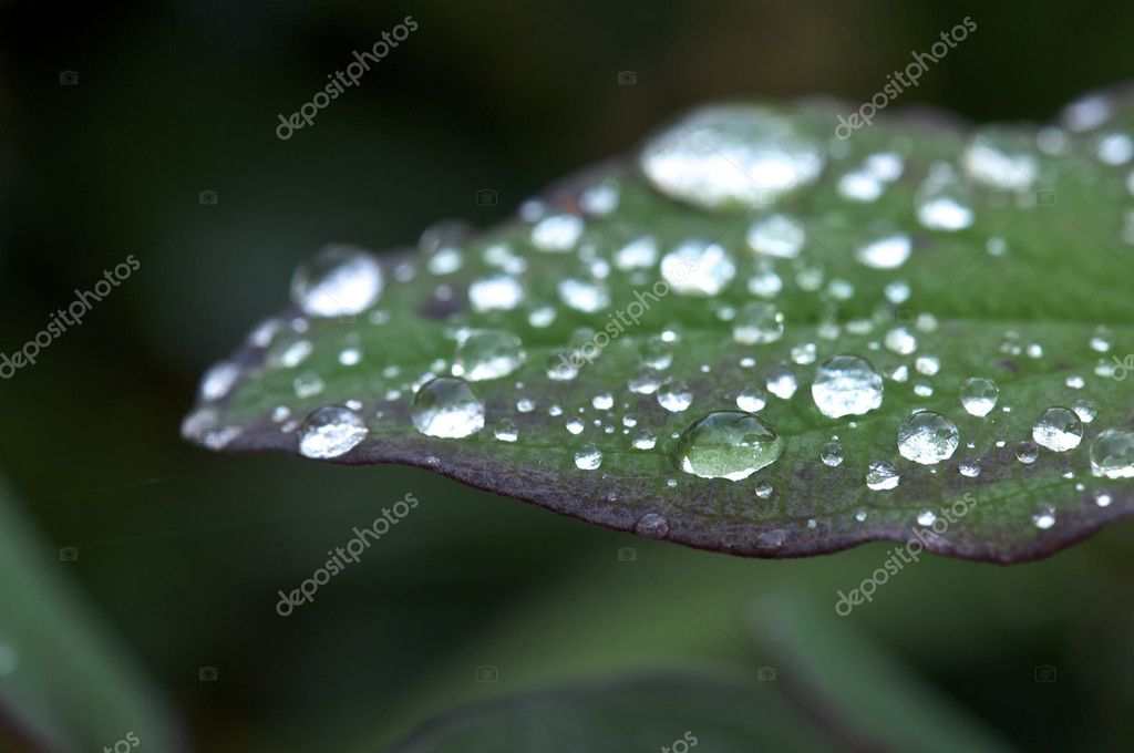 Closeup of a Green and Purple Plant with Water Droplets  Foto de Stock   #7543615