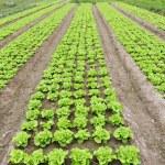 Lettuce growing in the soil — Stock Photo #7859278