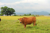 Bull in countryside — Stock Photo
