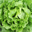Stock Photo: Lettuce growing in soil