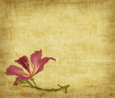 Bauhinia flower on Grunge Abstract Background — Stock Photo
