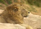 雄狮 — 图库照片