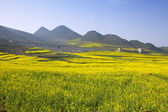 Rape field in the springtime — 图库照片