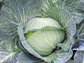 Head of cabbage — Stock Photo