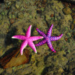 Starfish — Photo