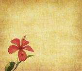 Chinese hibisci Rosae-Sinensis Flowe — Stock Photo