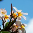 Hawaiian flowers - Stock Photo