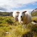 Sheeps — Stock Photo
