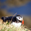 Puffin — Stock Photo