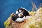 Puffin — Stock fotografie