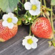 Stock Photo: Fresh ripe red luscious strawberries