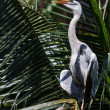 Blue Heron — Stock Photo