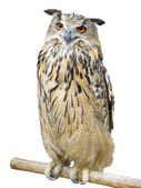 Young owl perching on branch over white — Stock Photo