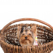Yorkshire Terrier in the basket — Foto Stock