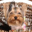 Yorkshire Terrier in the basket - Stockfoto