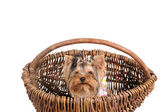 Yorkshire Terrier in the basket — Stock Photo